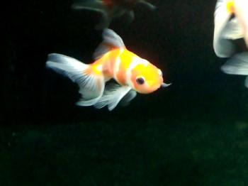 金魚(浜茜)