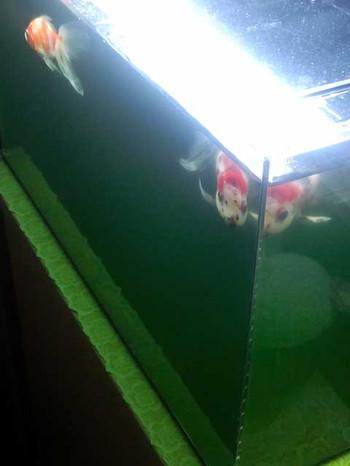 グリーンウォーター水槽
