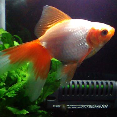 金魚、東海錦